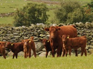 Welsh luing beef premium hafod y maidd welsh luing beef photo3 publicscrutiny Images